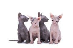 Gatos de la esfinge Fotografía de archivo
