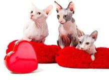 Gatos de la esfinge en las almohadillas rojas Imagen de archivo