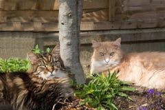Gatos de Maine Coon que mienten en la sombra del jardín Imagen de archivo