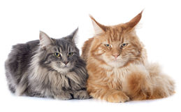 Gatos de racum de Maine foto de stock royalty free