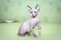 Gatos de Sphynx com olhos azuis fotografia de stock