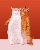 Gatos de sussurro Imagem de Stock Royalty Free