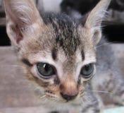 Gatos de Tailândia Foto de Stock