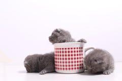 Gatos del bebé en una taza Fotos de archivo libres de regalías