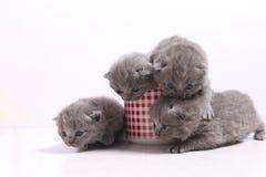Gatos del bebé en una taza Fotos de archivo