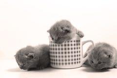 Gatos del bebé en una taza Foto de archivo
