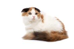 Gatos del doblez del escocés Fotografía de archivo libre de regalías