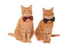 Gatos del jengibre con las corbatas de lazo Foto de archivo libre de regalías