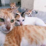 Gatos dispersos Imagens de Stock Royalty Free