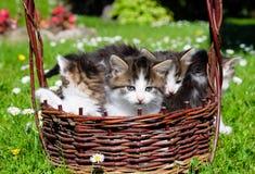 Gatos divertidos en cesta de mimbre Imagen de archivo libre de regalías
