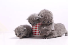 Gatos do bebê em uma caneca Fotos de Stock
