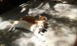 Gatos do sono Fotografia de Stock