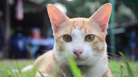 Gatos domésticos tailandeses que jogam no jardim vídeos de arquivo
