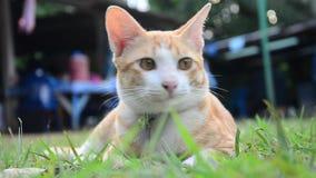 Gatos domésticos tailandeses que jogam no jardim filme