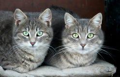 Gatos domésticos Imagens de Stock Royalty Free
