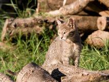 Gatos dos animais de estimação Imagem de Stock