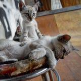 gatos dos irmãos fotografia de stock royalty free