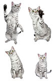 Gatos egípcios ativos de Mau Fotografia de Stock