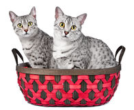 Gatos egípcios bonitos de Mau em uma cesta Imagens de Stock Royalty Free