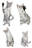 Gatos egipcios activos de Mau Fotografía de archivo