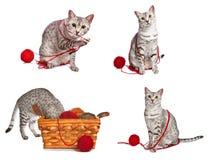 Gatos egipcios juguetones de Mau Imagen de archivo libre de regalías