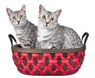 Gatos egipcios lindos de Mau en una cesta Imágenes de archivo libres de regalías