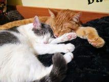Gatos el dormir fotos de archivo libres de regalías