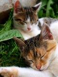 Gatos el dormir Fotografía de archivo