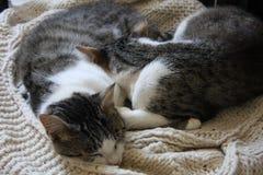 Gatos el dormir foto de archivo