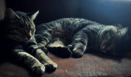 Gatos el dormir Imagen de archivo libre de regalías