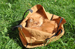Gatos em um saco Foto de Stock Royalty Free
