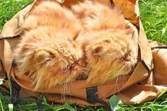 Gatos em um saco Fotos de Stock