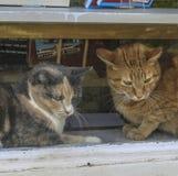 Gatos em uma janela da livraria Imagem de Stock Royalty Free