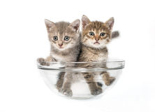 Gatos em uma salada-bacia Fotografia de Stock