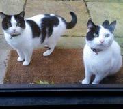 Gatos en el umbral Fotografía de archivo libre de regalías