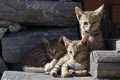 Gatos en pueblo de montaña nepalés Imagenes de archivo