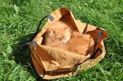 Gatos en un bolso Foto de archivo libre de regalías