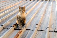 Gatos en un tejado caliente de la lata Fotos de archivo