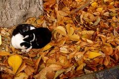 Gatos en una alfombra de las hojas de otoño Imágenes de archivo libres de regalías