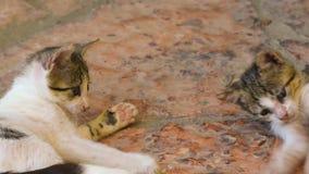 Gatos engraçados do bebê que jogam com a cauda de sua mãe filme