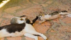 Gatos engraçados do bebê que jogam com a cauda de sua mãe Feche acima da vista filme