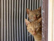 Gatos gêmeos Fotos de Stock Royalty Free