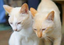 Gatos gemelos Imágenes de archivo libres de regalías