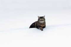 Gatos gordos pequenos na neve profunda Fotos de Stock Royalty Free