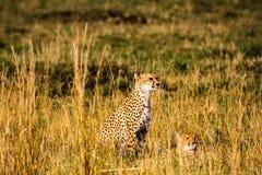 Gatos grandes de la sabana Kenia, África Foto de archivo libre de regalías