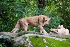 Gatos grandes - leones imagenes de archivo