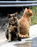Gatos irritados foto de stock