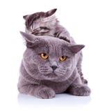 Gatos juguetones lindos Imagenes de archivo