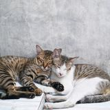 Gatos lindos de los pares que duermen junto fondo concreto gris Fotos de archivo libres de regalías