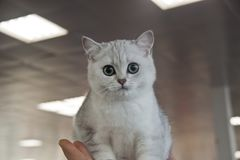 Gatos lindos y hermosos Fotografía de archivo
